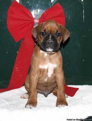 Adorable AKC Boxer Puppy