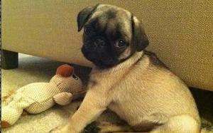 Amazing 10 weeks old Pug pup