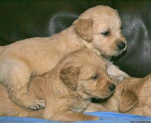 Fantastic Golden Retriever puppies
