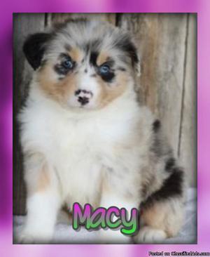 Macy: Female Australian Shepherd