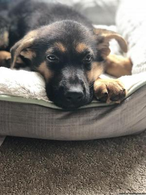 Male German Shepherd Puppy For Sale!!