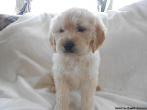 Ready Now- Stunning Goldendoodle Puppy For Sale