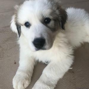 Pure breed Great Pyranees Puppies