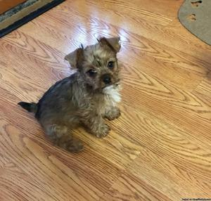 AkC Yorkie Puppy Male chocolate tan color