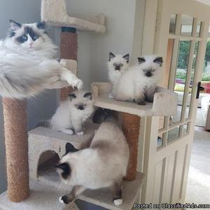 excellent-line female and male ragdoll kittens