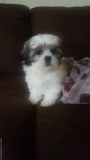 9 Week Old Shih Tzu Female