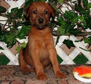 Irish Terrier Puppy for Sale