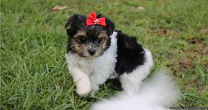Morkie / Yorktese Puppies for Sale