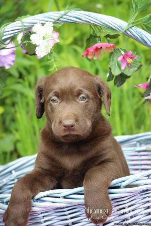 Nala: Female Labrador Retriever