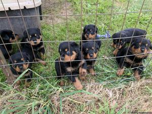 AKC German Rottweiler Pups