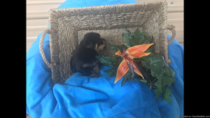 AKC Rottweiler puppies for sale