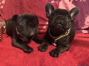 Priceless English Bulldog Puppies