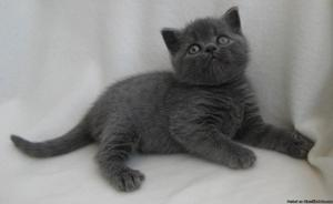 WANTED female gray kitten