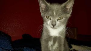Russian blue mix kitten