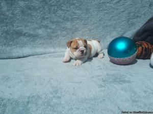 English Bulldog Puppies AKC Registered