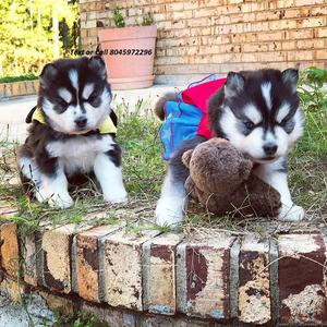 Excellent Pomsky Puppies ready for a forever home