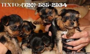 akc Teacup Mini size Yorkie Puppies Excellent temperament