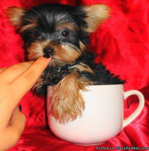 Micro teacup Yorkshire terrier puppies available