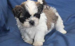 Adorable Shih tzu Puppies for sale