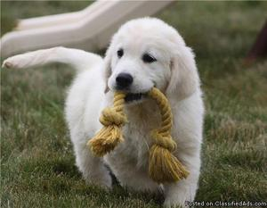 Best Golden Retriever Puppies for sale