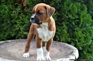 Boxer Puppies for sale,