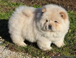 Boy and Girl Chow chow Puppies for sale