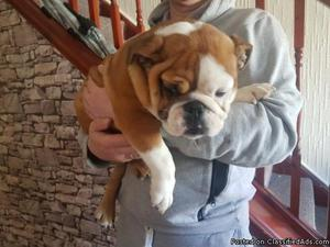 English Bulldog Puppies Stunning litter of 7 English bulldog
