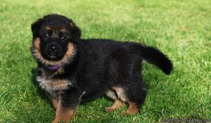 ''German Shephered Puppies for sale,