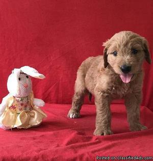 Golden doodle Puppies for sale