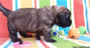 Leonberger Puppies for sa