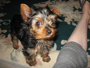 Purebred Yorkie puppy