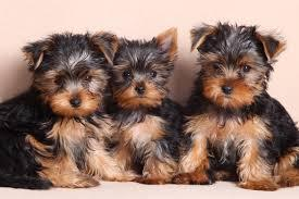 Yorkie Puppies 4 Sale