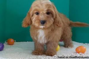 cavapoo Puppies for sale here