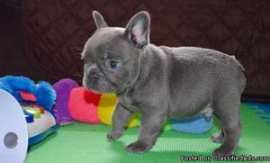 male and female Frenchies puppies for sale
