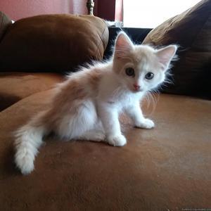 Kittens Free 5 five or take one 1 Chandler AZ
