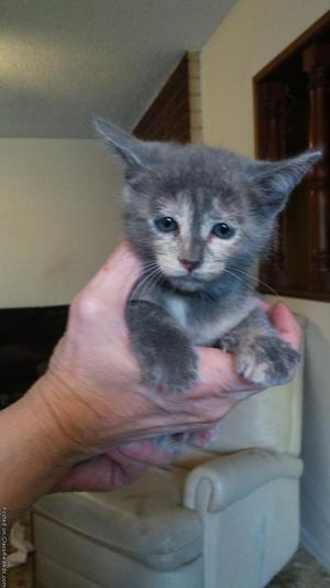 2 Litter Boxed Trained Kitten's 6 Weeks Old In Need Of A