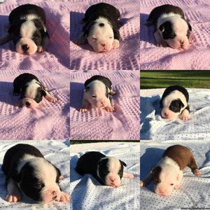 CKC Boston Terrier puppies