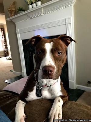1 year old Pit Bull Mix- Female