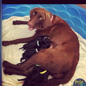 AKC Labrador Retrievers