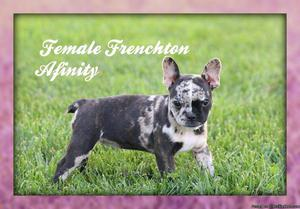 Afinity: Female Frenchton Puppy ICA Registered