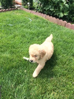 Akc Golden Retriever Puppy's