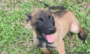 Belgian Malinois Puppies available for sale