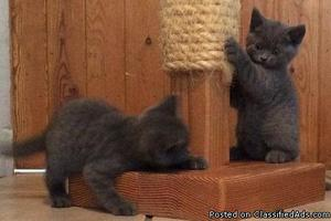 Courageous gvhgjh British Short-hair kittens for sale