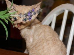 Courageous gvhgjh Devon Rex kittens for sale