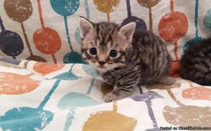 Courageous gvhgjh Munchkin kittens for sale