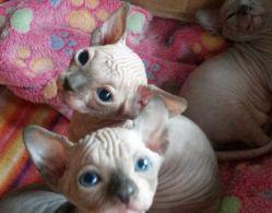 Courageous gvhgjh Sphynx kittens for sale