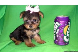 STUNNING T-cup Yorkies 1. 2lbs and Pomeranian puppies on