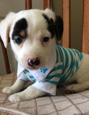 Jack Russell/Rat Terrier puppies