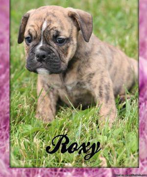 Roxy: Male AKC English Bulldog Puppy