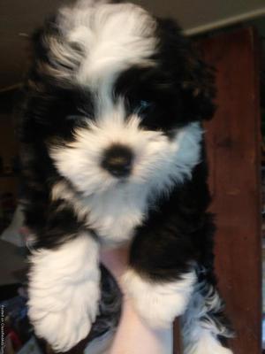 Shorkie Tzu puppies for sale
